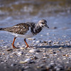 Juvenile ruddy turnstone (Arenaria interpres) on Sanibel Causeway, Sanibel, Florida