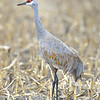 Sandhill Crane in a Nebraska Cornfield