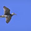 Upland sandpiper in flight over the Nebraska Sandhills in Fort Niobrara National Wildlife Refuge near Valentine, Nebraska