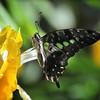 Commander Butterfly, Key West, Florida