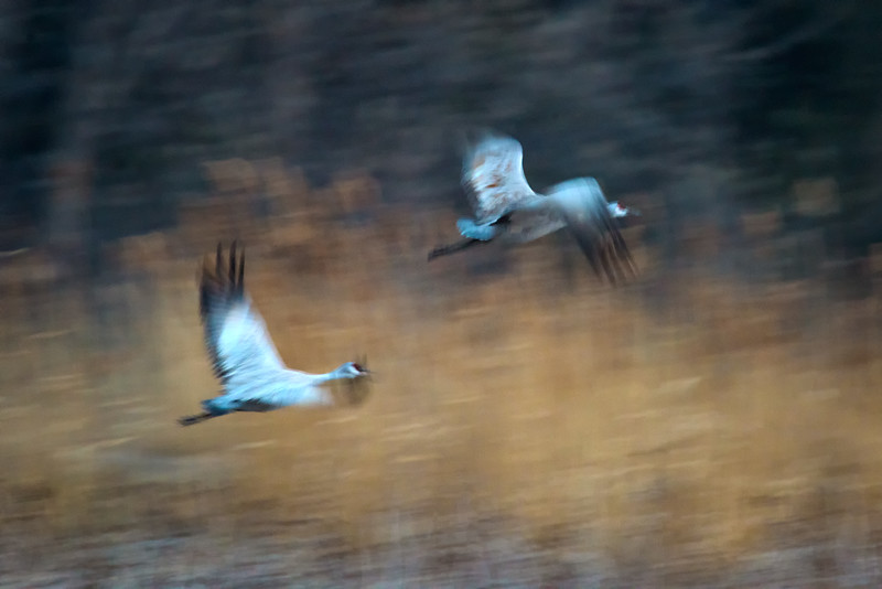 Two Sandhill Cranes (Grus canadensis) at sunrise over the Platte River, Nebraska (slow shutter speed)