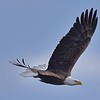 Bald Eagle in Flight in Babcock Wildlife Refuge, Florida