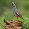 Scaled Quail (Callipepla squamata) in South Texas