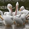 """White Pelicans at J. N. """"Ding"""" Darling National Wildlife Refuge on Sanibel Island, Florida"""
