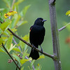 Male Red Winged Blackbird in tree at Lowell Riverfront Trail, Everett, Washington