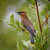 Cedar Waxwing at Lowell Riverside Trail on the Lowell River, Everett, Washington State