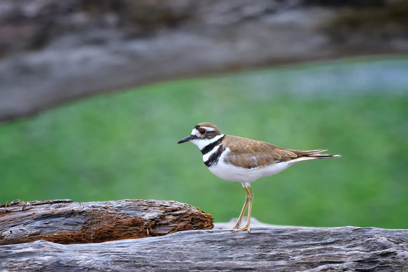 Killdeer on log at Ben Ure Spit near Deception Pass on Whidbey Isalnd, Washington State