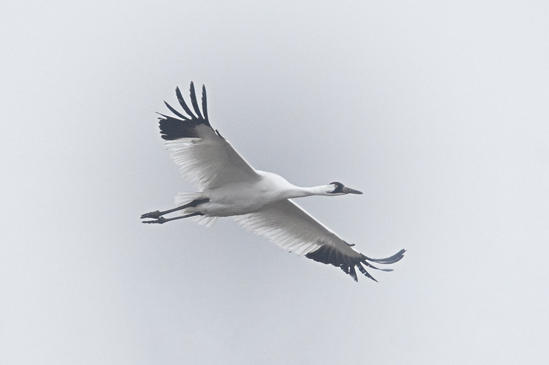 Whooping Crane (Grus americana) in flight over a cornfield near Gibbon, Nebraska during the annual Sandhill Crane migration