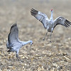Leaping for Joy, Sandhill Crane Dance Display, Nebraska