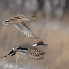A pair of Northern pintail ducks (Anas acuta) fly over the Platte River near Wood River, Nebraska