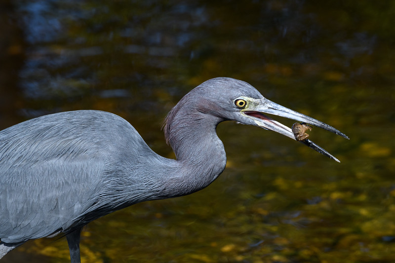 "Little blue heron (Egretta caerulea) catching sand crabs at J. N. ""Ding"" Darling National Wildlife Refuge, Sanibel Island, Florida"