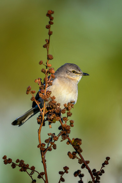 Northern Mockingbird (Mimus polyglottos) in Babcock Wildlife Management Area, Punta Gorda, Florida