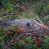 Great blue heron (Ardea herodias) sitting on nest at the Venice Audubon Rookery, Venice, Florida