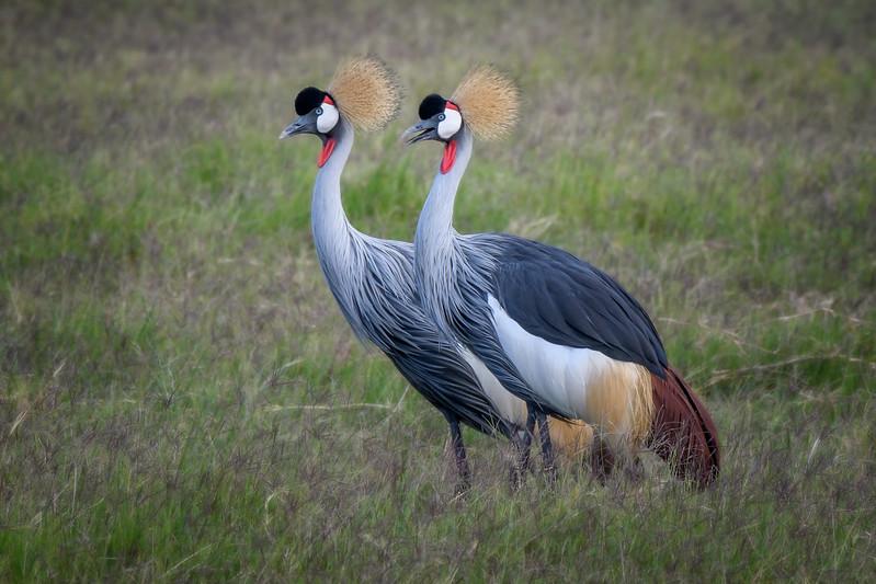 A pair of Grey crowned cranes (Balearica regulorum) at Amboselti National Park, Kenya, East Africa