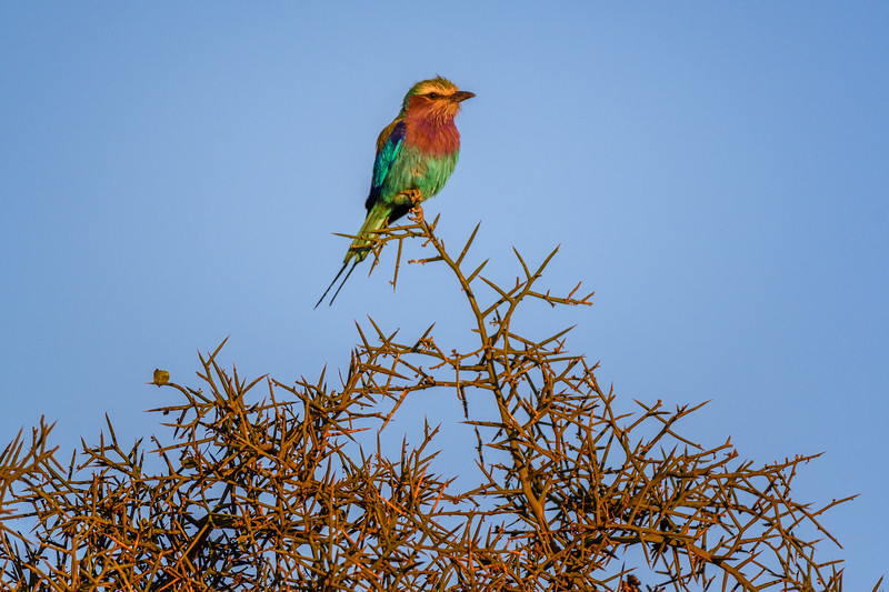 Lilac-breasted roller (Coracias caudatus) perched at sunrise on a thorn acacia tree, Amboseli National Park, Kenya, East Africa