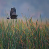 An endangered Snail Kite (Rostrhamus sociabilis) in flight at sunrise at Harns Marsh, Fort Myers, Florida