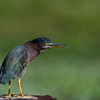 Green heron (Butorides virescens) at Lake Okeechobee, Florida