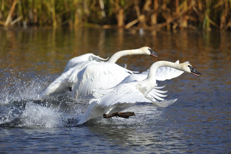 Trumpeter swans (Cygnus buccinator) taking off near Jackson, Wyoming