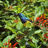 Male Variable Sunbird at the Karen Blixen museum, Nairobi, Kenya, East Africa