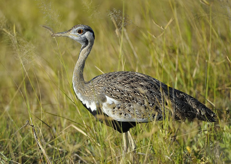 Black-bellied bustard (Lissotis melanogaster) at Amboseli National Park, Kenya, East Africa