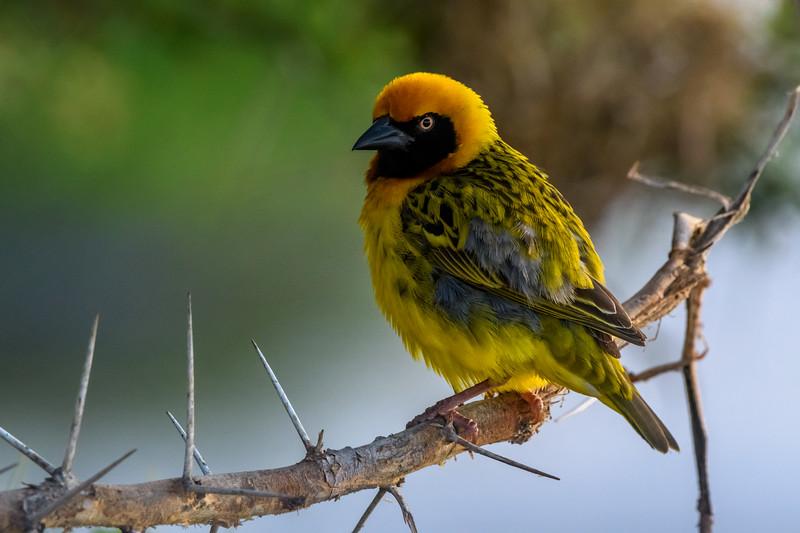 Weaver (Ploceidae) on acacia tree branch, Amboseli National Park, Kenya, East Africa