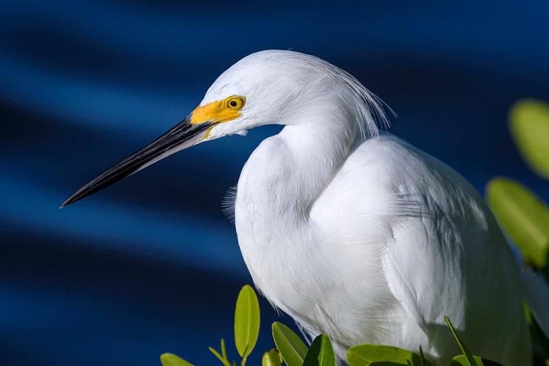 "Closeup of Snowy egret sitting in a Mangrove tree at J.N. ""Ding"" Darling National Wildlife Refuge on Sanibel Island, Florida"