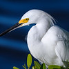 "Closeup of Snowy egret sitting in a Mangrove tree at J.N. ""Ding"" Darling National Wildlife Refuge on Sanibel Island, Florida"