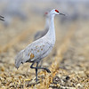 Sandhill Cranes in Cornfield, Nebraska
