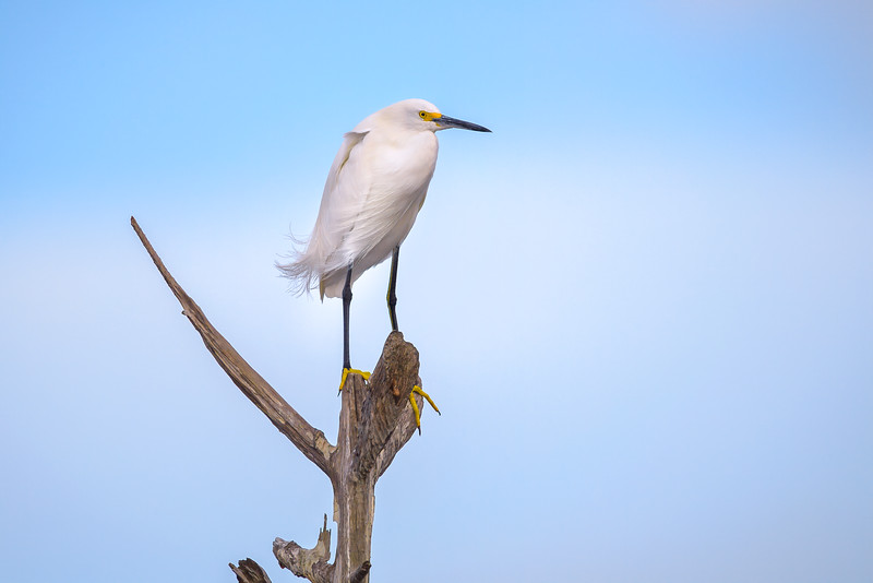 Snowy egret perched on snag at Babcock Wildlife Management Area near Punta Gorda, Florida
