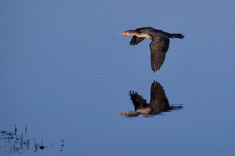 Solitary Cormorant with reflection in flight above a marsh at sunrise at Ten Thousand Islands National Wildlife Refuge, Naples, Florida