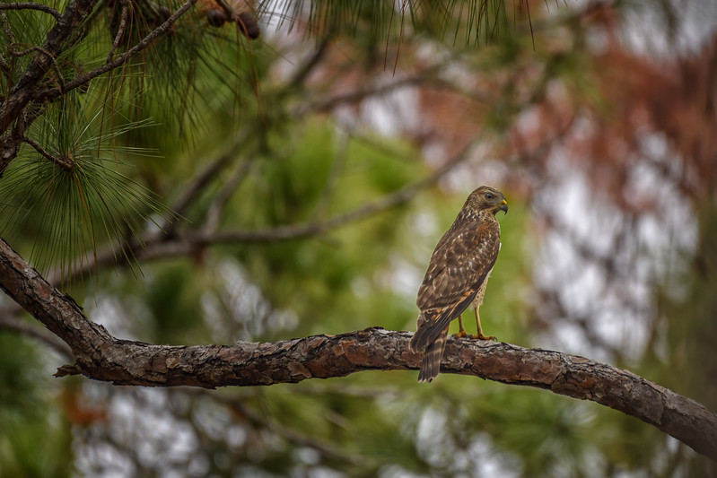 Juvenile Red-shouldered hawk (Buteo lineatus) on slash pine tree limb in Babcock Wildlife Management Area, Punta Gorda, Florida