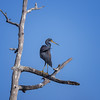Tricolor Heron (Egretta tricolor) perched in a snag at Babcock Wildlife Management Area, Punta Gorda, Florida