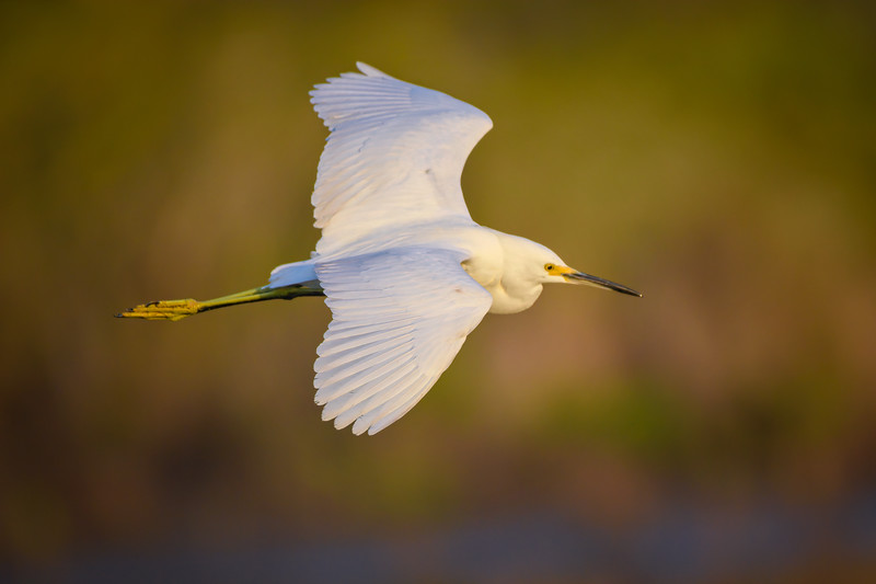 Snowy egret in flight over marsh at Ten Thousand Islands National Wildlife Refuge near Naples, Florida