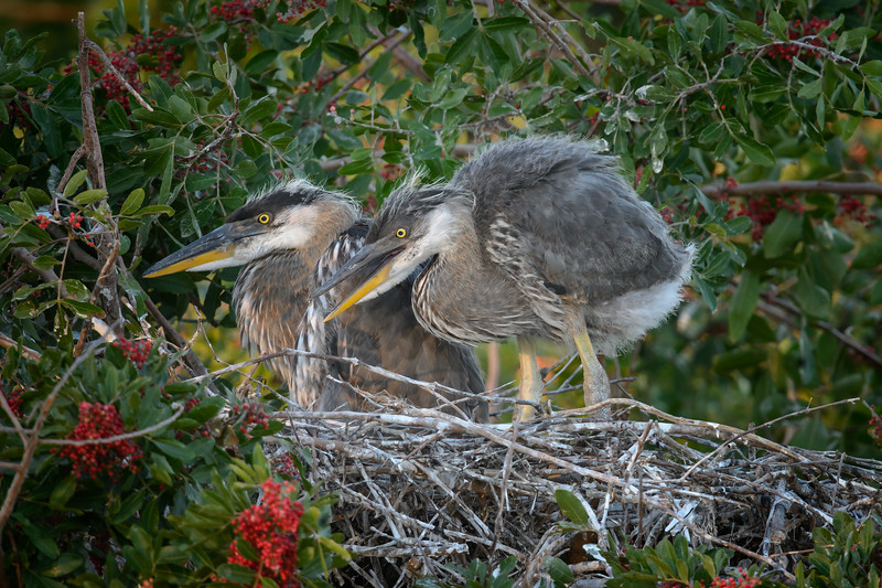 Two Great blue heron chicks at Venice Rookery, Venice, Florida