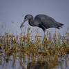 Little Blue Heron (Egretta caerulea) at Babcock Wildlife Management Area, Punta Gorda, Florida