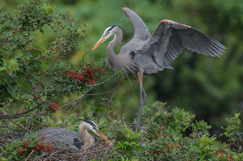 Great blue heron (Ardea herodias) bringing home a stick to add to the nest at the Venice Audubon Rookery, Venice, Florida