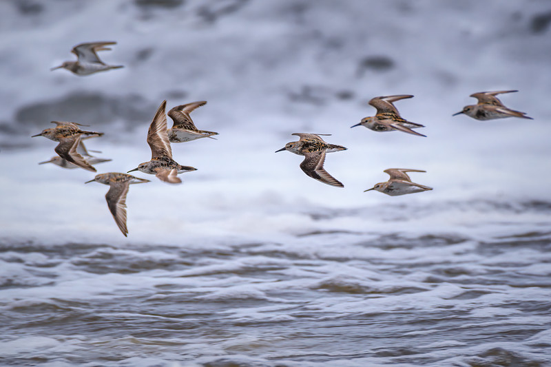 Group of Western sandpipers in flight over the surf on Rialto Beach in Olympic National Park, Olympic Peninsula, Washington State