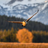 Canada goose (Branta canadensis) in flight at sunrise in front of Mt. Moran, Grand Teton National Park, Wyoming
