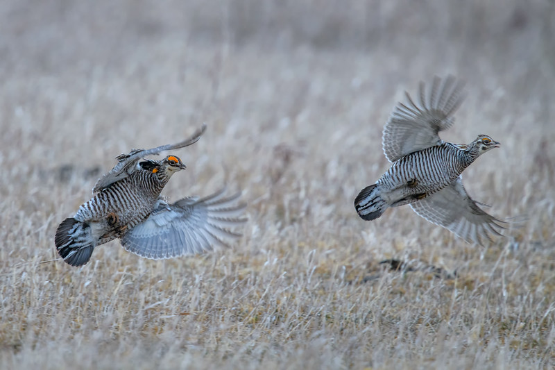 Two Male Greater Prairie Chickens in flight after chasing one another for dominance near Burwell, Nebraska