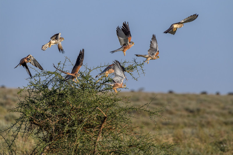 A flock of African pygmy falcons (Polihierax semitorquatus) taking flight, Ndutu Conservation Area, Tanzania, East Africa