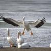 "Incoming! White Pelican landing at J. N. ""Ding"" Darling National Wildlife Refuge, Sanibel Island, Florida"