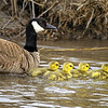 Canada Goose (Branta canadensis) and Goslings