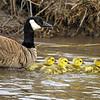 Canada Goose (Branta canadensis) and Goslings