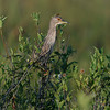 Juvenile Black-crowned Night-heron (Nycticorax nycticorax) at Babcock Wildlife Refuge, Punta Gorda, Florida
