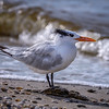 Royal tern (Thalasseus maximus) on Sanibel Causeway, Sanibel Island, Florida