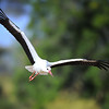 White stork in Flight, Tanzania, East Africa