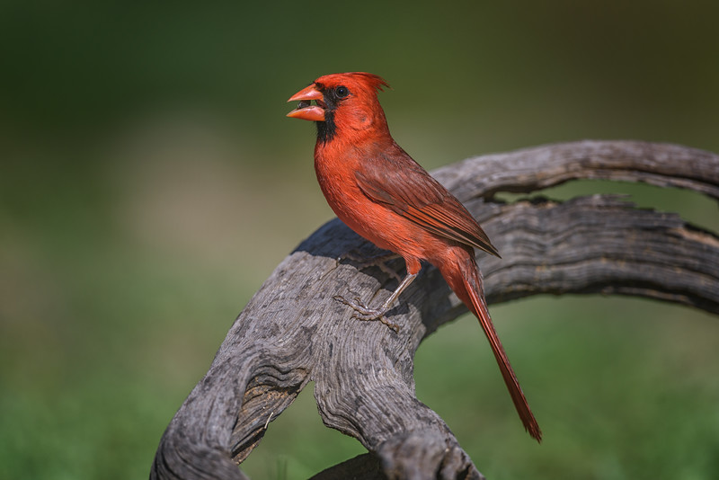 Male Cardinal (Cardinalidae) in South Texas