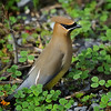 Cedar Waxwing (Bombycilla cedrorum) in Sabine National Wildlife Refuge, Louisiana