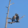 Cormorant couple at Babcock Wildlife  Management Area near Punta Gorda, Florida