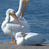 White Pelican Family on Sandbar